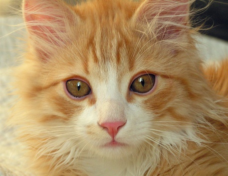 Фото Рыжий котик (© Штушка), добавлено: 02.03.2011 19:55