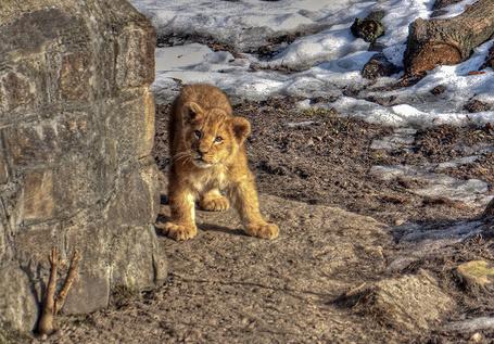 Фото Маленький лев (© Штушка), добавлено: 02.03.2011 20:00