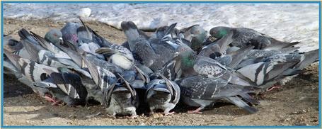 Фото Обед у голубей (© Штушка), добавлено: 02.03.2011 20:08
