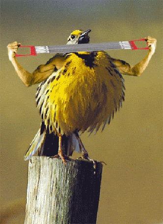 Фото Желтая птичка накачивает мускулатуру