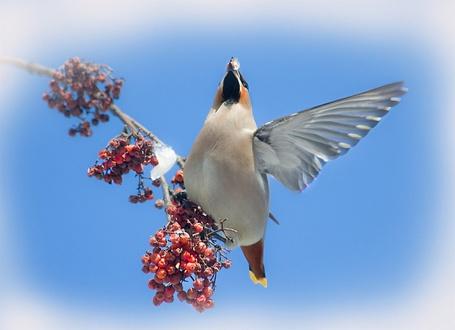 Фото Птичка ест с ветки рябину