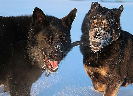 Фото Чёрные псы в снегу