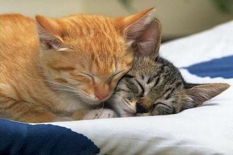 Фото Две кошки сладко спят ,уткнувшись друг в друга (© Volkodavsha), добавлено: 05.03.2011 02:10