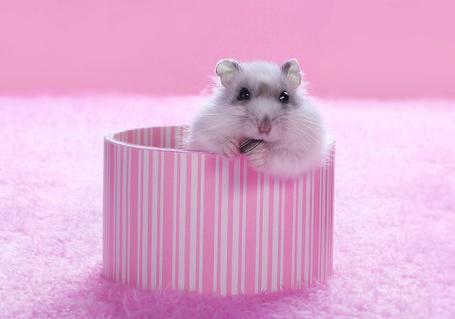 Фото Хомячок в полосатой коробке (© TARAKLIA), добавлено: 06.03.2011 08:47
