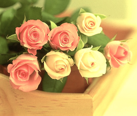 Фото Кремовые и розовые розы
