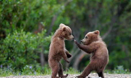 Фото Медвежата пратикуются в боевых искусствах (© Volkodavsha), добавлено: 10.03.2011 14:20