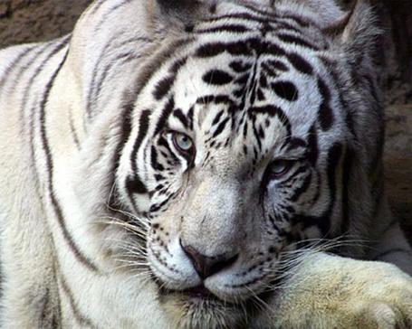 Фото Белый тигр отдыхает (© Volkodavsha), добавлено: 12.03.2011 20:22