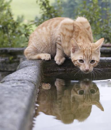 Фото Кошка собирается пить воду (© Volkodavsha), добавлено: 13.03.2011 13:15