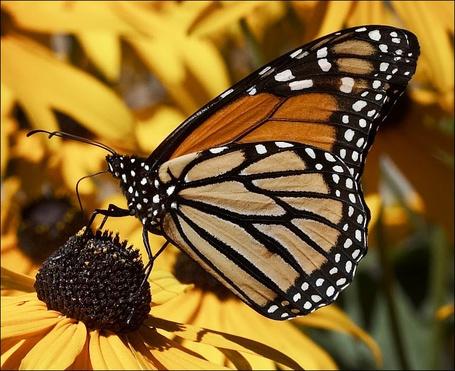 Фото Бабочка на цветке (© Volkodavsha), добавлено: 15.03.2011 16:54