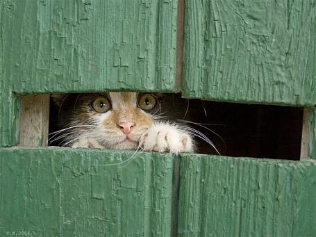 Фото Кот смотрит сквозь щелку