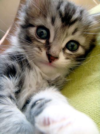 Фото Серый котенок (© Шепот_дождя), добавлено: 16.03.2011 00:59
