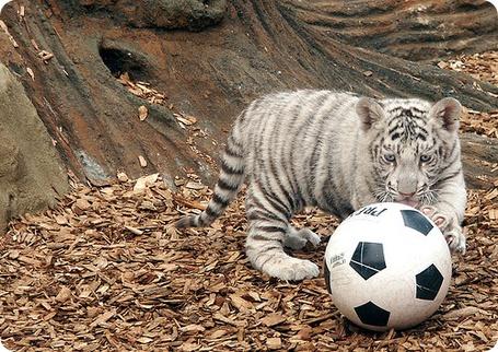 Фото Бенгальский тигренок и футбольный мяч
