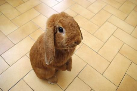 Фото Кролик стоит на задних лапах (© Штушка), добавлено: 17.03.2011 21:26