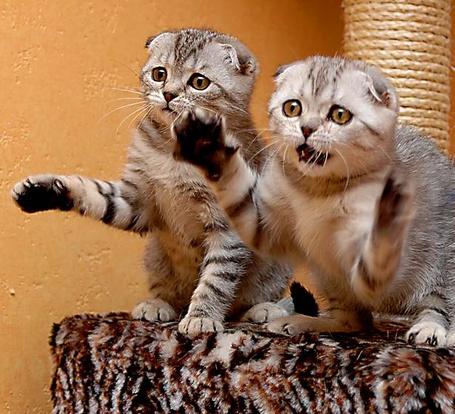 Фото Две кошки чем то испуганы и недовольны (© Volkodavsha), добавлено: 18.03.2011 07:51