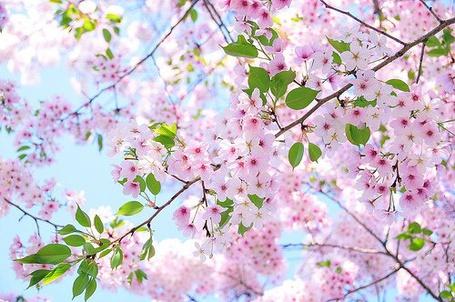 Фото Цветущая вишня (© Штушка), добавлено: 18.03.2011 18:13