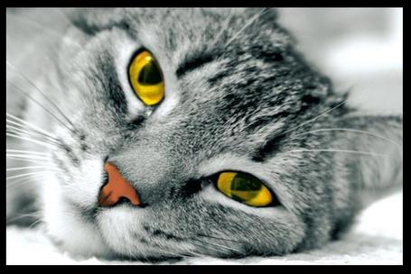 Фото Серый кот с оранжевыми глазами (© Штушка), добавлено: 18.03.2011 19:06