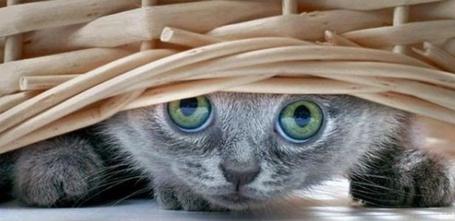 Фото Зеленоглазый серый котенок выглядывает из-под кошелки (© Шепот_дождя), добавлено: 18.03.2011 23:32
