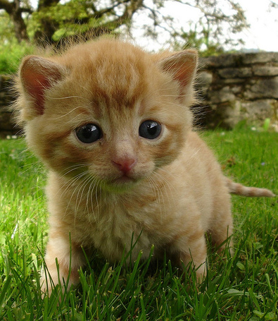 Фото Маленький рыжий котёнок идёт по траве (© Volkodavsha), добавлено: 19.03.2011 04:12
