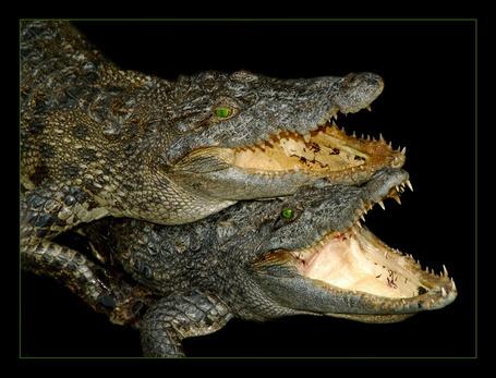 Фото Два зубастых крокодила на чёрном фоне раскрыли пасти