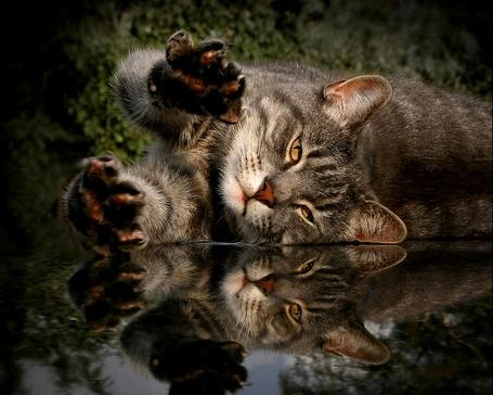 Фото Кот лежит вытянув лапы (© Volkodavsha), добавлено: 19.03.2011 16:26