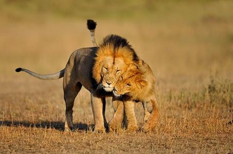 Фото Лев и львица обнимаются
