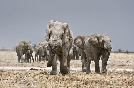 Фото Семья слонов (© Шепот_дождя), добавлено: 26.03.2011 21:41