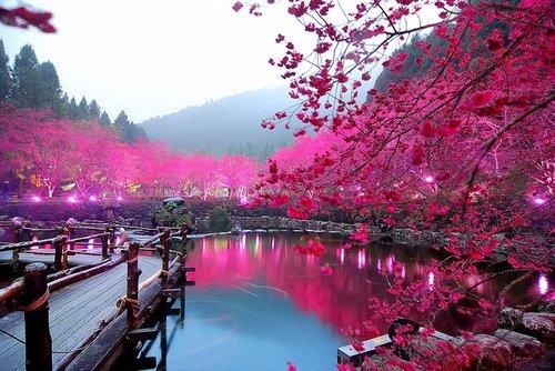Banco de Imagem florescendo, sakura, árvores, ao longo, a, lago, japão, /, japão