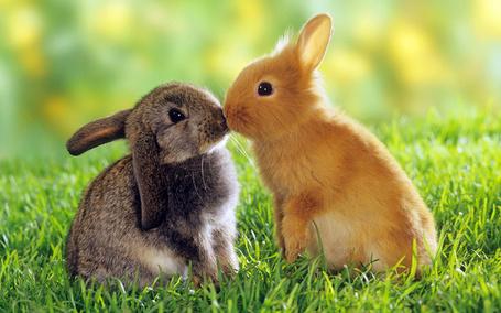 Фото Поцелуй двух кроликов