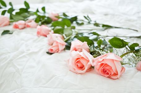 Фото Розы лежат на пастели (© Штушка), добавлено: 03.04.2011 16:10