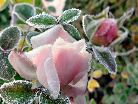 Фото Розовые розы во льду (© Штушка), добавлено: 07.04.2011 00:43