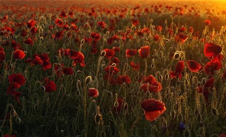 Фото Маковое поле и лучики солнца (© Шепот_дождя), добавлено: 07.04.2011 18:37