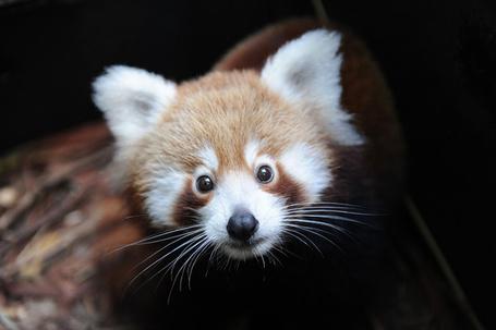Фото Детеныш красной панды (© Niar), добавлено: 11.04.2011 06:28