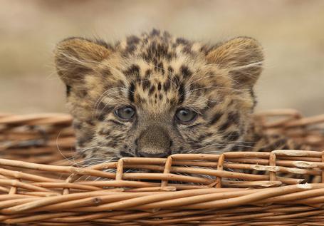 Фото Маленький леопард в корзине (© Niar), добавлено: 12.04.2011 06:57