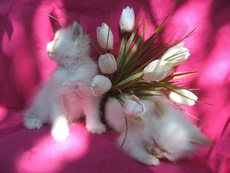 Фото Котята с белыми тюльпанами (© Штушка), добавлено: 14.04.2011 20:36