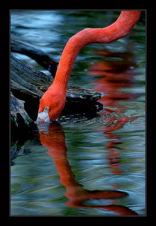 Фото Розовый фламинго (© Штушка), добавлено: 14.04.2011 21:17