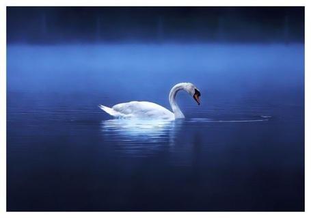 Фото Белый лебедь одиноко плавает по озеру (© Штушка), добавлено: 27.04.2011 21:38