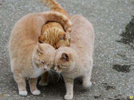 Фото Два рыжих кота зажали третьего