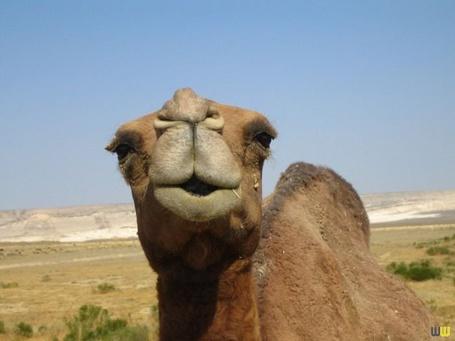 Фото Верблюд тянет губки (© Radieschen), добавлено: 28.04.2011 02:32