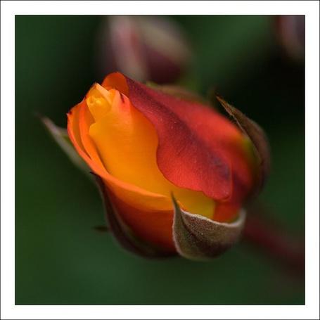 Фото Красивая роза (© Штушка), добавлено: 29.04.2011 17:16