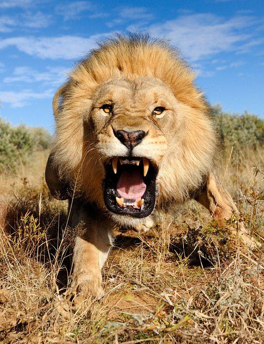 картинки злой лев