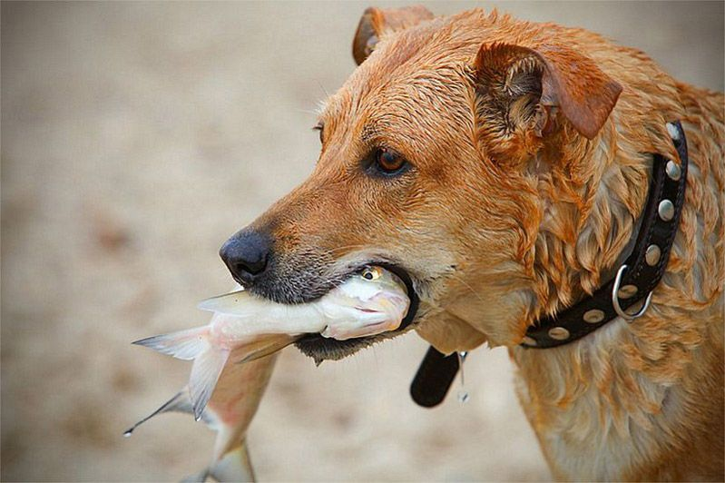 Собака ловит рыбу картинки