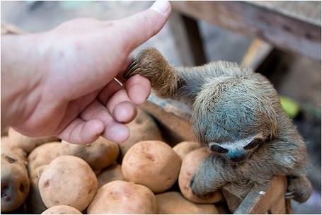 Фото Маленький лемур на картошке. (© Штушка), добавлено: 01.05.2011 14:09