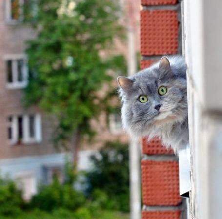 Фото Кот смешно выглядывает из окна (© Штушка), добавлено: 03.05.2011 22:40