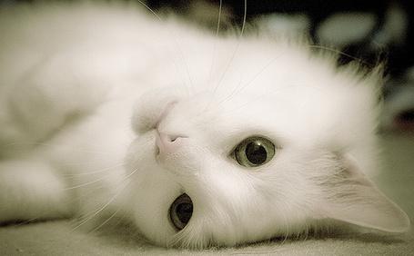 Фото Красивая,белая кошка