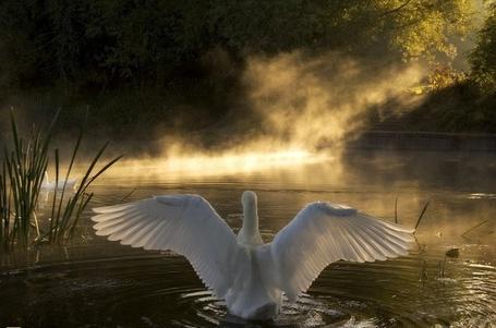 Фото Лебедь садится на воду