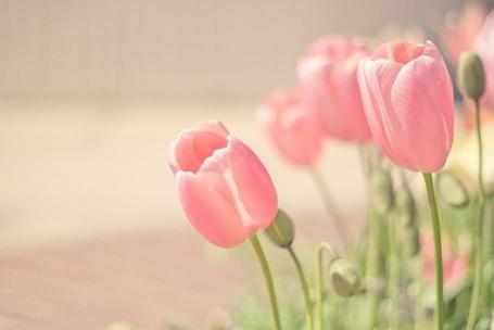 Фото Розовые тюльпаны