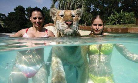 Фото Девушки и тигр в бассейне (© Шепот_дождя), добавлено: 21.05.2011 23:23