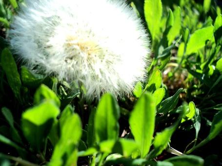 Фото Одуванчик (© СyмАшеDшая Pандa), добавлено: 25.05.2011 10:13