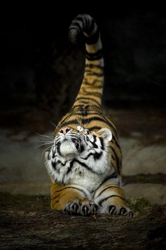 Тигрица смешные картинки, полета открытка поздравления