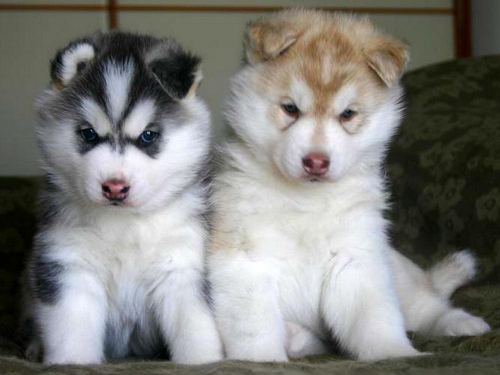 Фото милые щенки хаски
